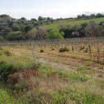 poggio vineyard 3