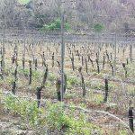 poggio vineyard 4